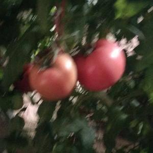 河北饶阳温室硬粉西红柿大量上市,价格猛降,欢迎新老朋友光...