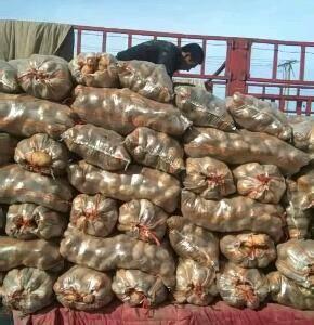 大量销售山东荷兰十五土豆,个头大质量好,以质论价货源充足...