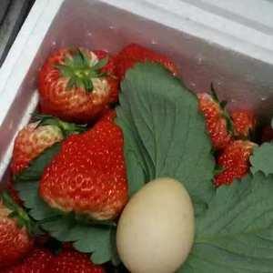 正宗丹东东港九九草莓,保质保量,保鲜保甜,欢迎选购。