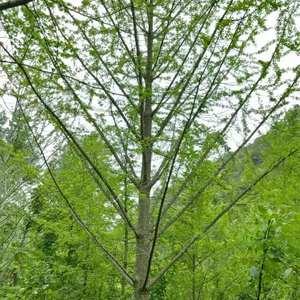 长期供应各种规格桂花树。联系电话13878344366