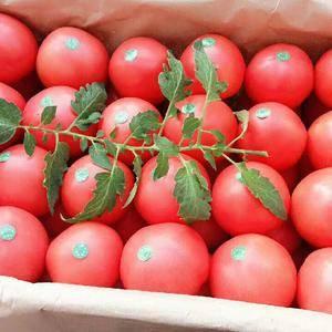 河北饶阳温室硬粉西红柿大量上市,价格猛降,1383385...