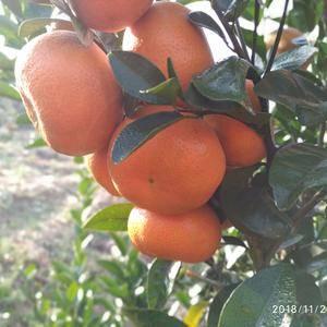 默科特柑桔红了啵!60以上果,可批发可零售,提供包装,联...