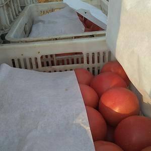 河北饶阳温室西红柿正在热销中,望朋友你转告你的朋友及家人...