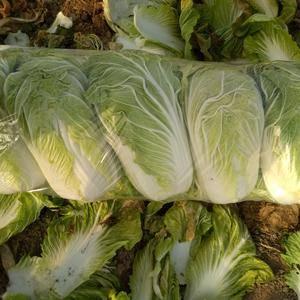 河南省夏邑县大白菜已经大量上市了,我处种植面积大,可长期...