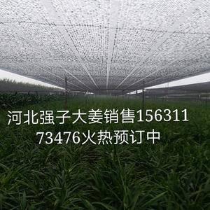 第一年种,生茬地,质量好。可留姜种。1473065177...