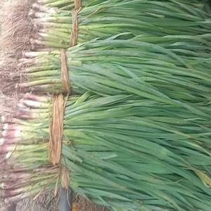 红根蒜苗大棚菜逐步上市。