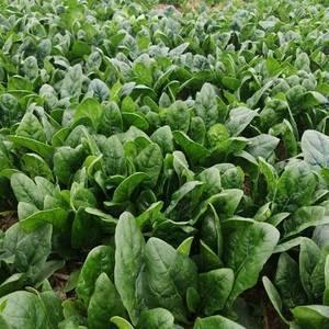 大叶菠菜以成熟