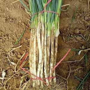 葱白四十公分以上,五指葱,层多肉嫩,三道绳,无夹心。