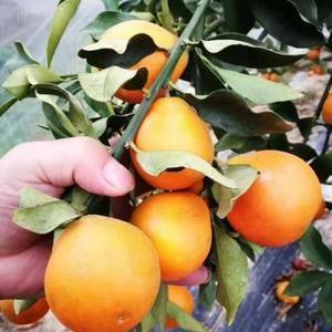 新鲜砂糖橘、金桔上市,有需要的老板可以电联:138782...