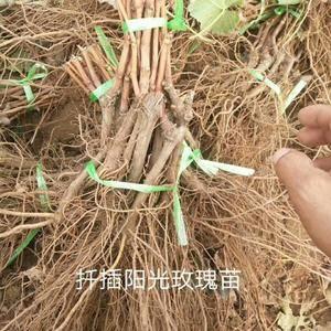 本基地长期出售各品种葡萄苗有需要的联系。