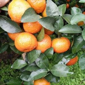 我自家种植,沙糖桔,今年产量20万斤左右,即将上市,可接...