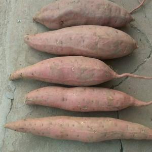 大量出售烟薯25商品薯,2-5两规格,5两-1斤7两,电...