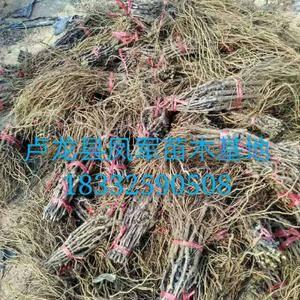 本基地出售各品种葡萄苗有需要联系。 品种多,质量优,纯...