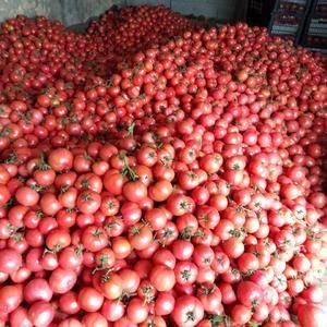 费县的硬粉西红柿大量上市,西红柿的品种齐全,质量好,颜色...