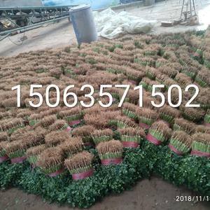 聊城莘县铁杆绿香菜以上市,适合储存和发全国各地市场,可根...