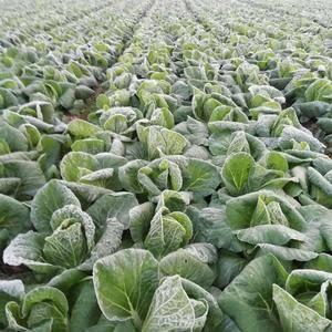 大量出售黄心大白菜,每天走货量100吨,有需要的老板请联...