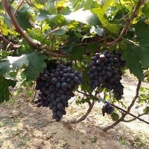 本基地有各品种葡萄苗有需要的朋友可以联系。优惠多多。 ...