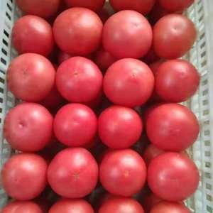 河北饶阳温室硬粉西红柿掉价了。大掉价了,欢迎新老朋友光临...
