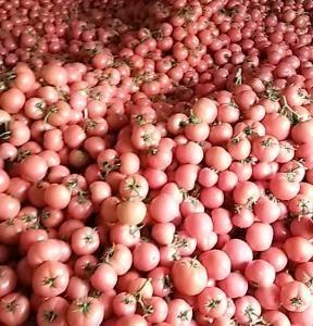 费县硬粉西红柿大量上市,西红柿质优价廉,价格以质论价,,...