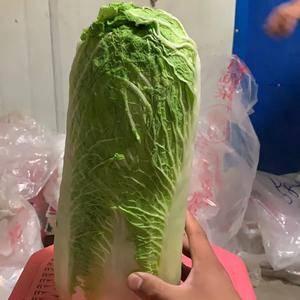 河北唐山玉田县蔬菜主产区,张金良大量供应北京三号白菜,各...