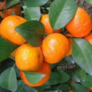 正宗砂糖橘需要的可以加微信450739259