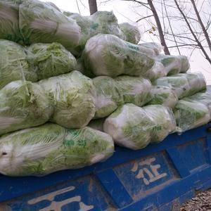 河南省夏邑县大白菜上市中,品质好价格低欢迎前来订购