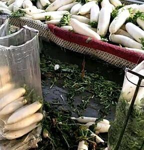 大量香菜毛菜,脱水菜,精品菜上市中,喜欢的老板选货了