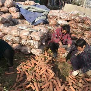 开封胡萝卜大量上市中,可以水洗,干货,通货量大,价格便宜...