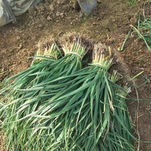 土地到期,大量优质蒜苗急需出售,三十亩大棚蒜苗,十亩棚外...