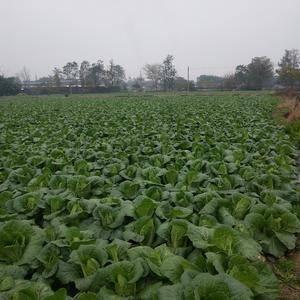 现有二十亩145黄心白菜,叶色清秀无虫眼,需要的联系我,...