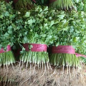 中叶铁杆青香菜,毛菜,质优价廉,15753196399