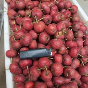 大金星山楂,歪把红,大五棱,大量供应切片果,打浆果