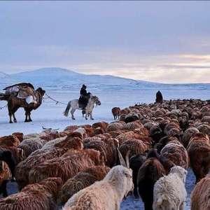 新疆羊肉鲜嫩膻味小