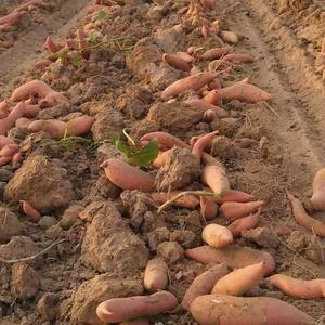山东夏津红薯基地大量供应优质红薯,主营品种:龙薯九,济薯...