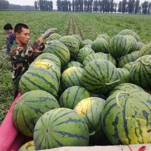 山东省泗水西瓜种植20万亩,品种主要有甜王,京欣、红玉、...
