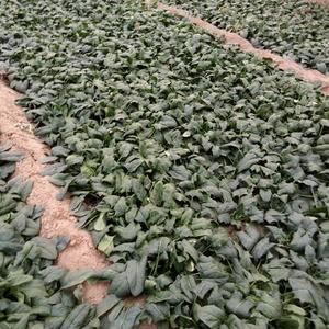 大量供营大叶菠菜,河南,南乐,15516643666