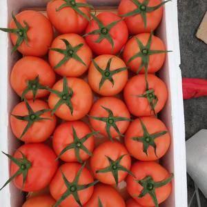 温州苍南县马站镇万亩西红柿大量上市中,欢迎各位老板前来收...