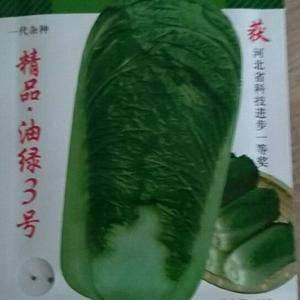 昌黎油绿3号白菜大量上市,价格低,质量好,欢迎新老客户前...