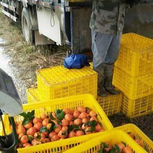 广西省河池市砂糖桔价降降现在地头价1.5至2元商品果收购...