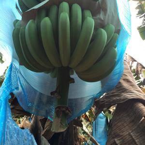 大量香蕉出产地,欢迎老板来电,
