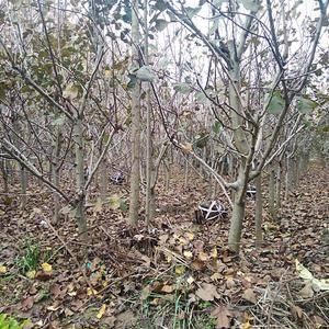 处理大金星山楂树4.5到5.8公分1000棵左右5公分以...