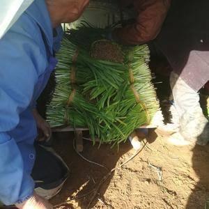 莱州二刀韭菜大量上市