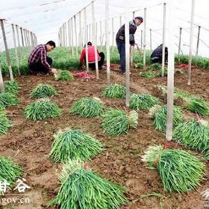 百亩韭菜,欢迎有需求者前来收购。刘学忠177035980...
