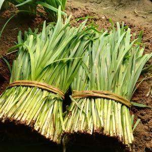 莱州二刀韭菜。邱质辉18153567543
