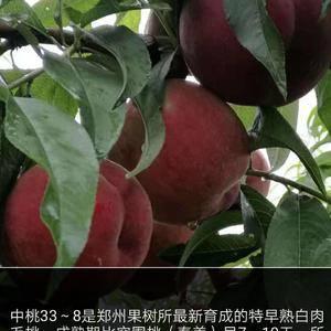 供应中桃33-8桃苗