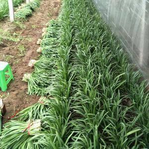 二刀韭菜,新鲜无干尖,35公分左右,河北省唐山市滦南县