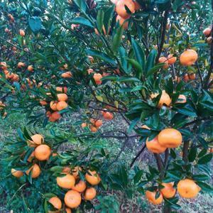 还在树上的年桔,甜的酸的都有,易型国1892360231...