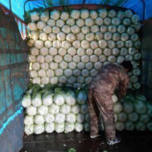 山东青州黄心大白菜将于正月底大量上市,于需要的提前联系我...