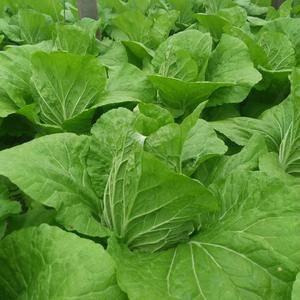青州大白菜即将上市了,欢迎全国各地的客商前来采购