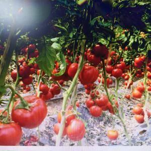 长期供应硬粉西红柿,普莱旺斯西红柿,地址:山东省海阳市龙...
